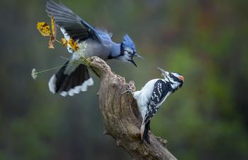 Blue Jay vs. Hairy woodpecker (male) / ***