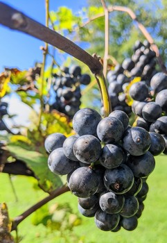 Fresh Maine Grapes / A fresh bunch of Marechal Foch grapes, ready to be picked, pressed and turned into wine.