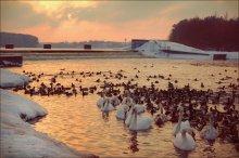 Sunset-swan / ********