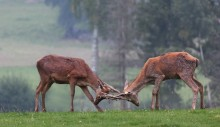Hong deer. / ***