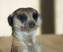Portrait of a mongoose. / ***