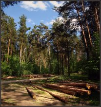 Pine forest at noon / ***