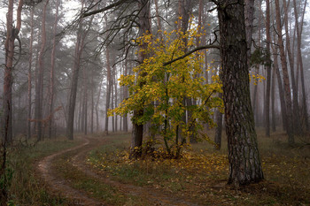 Morning in a pine forest / ***