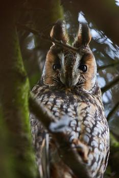 Screech-owl / ***